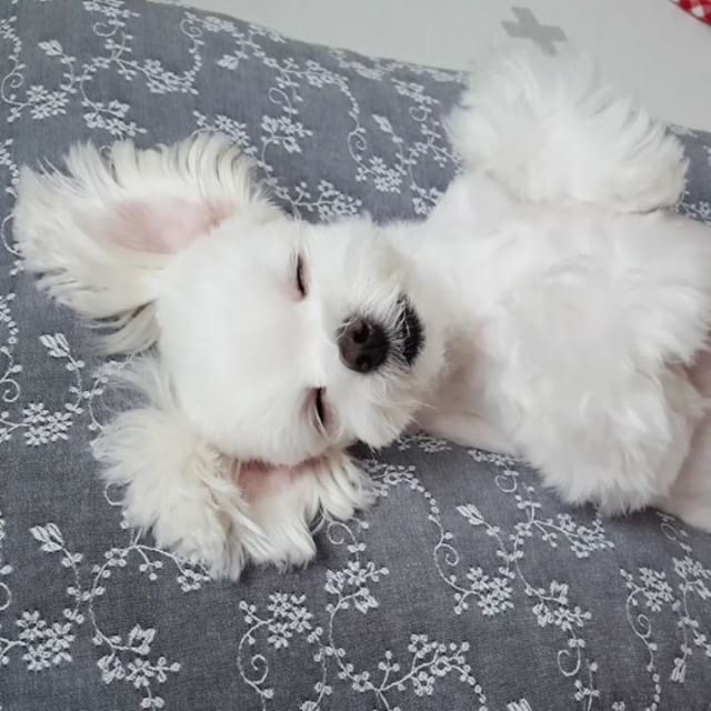 Pin By Victoria Bucchino On Maltese Maltese Dogs Dogs Puppies