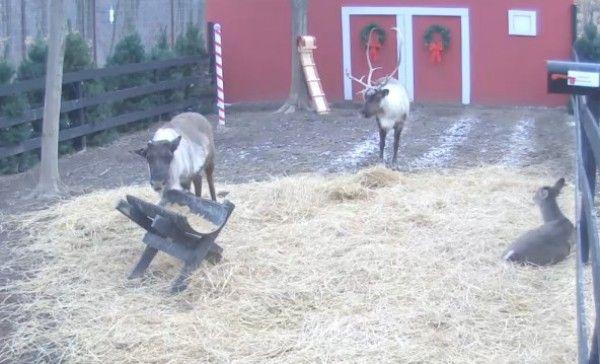 See Santas Live Reindeer-Cam [VIDEO] - The Santa Station See Santas Live Reindeer-Cam [VIDEO] - The Santa Station