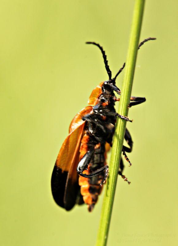 Hook-winged Net-winged beetle