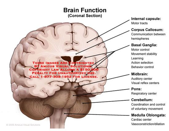 Image result for function of internal capsule