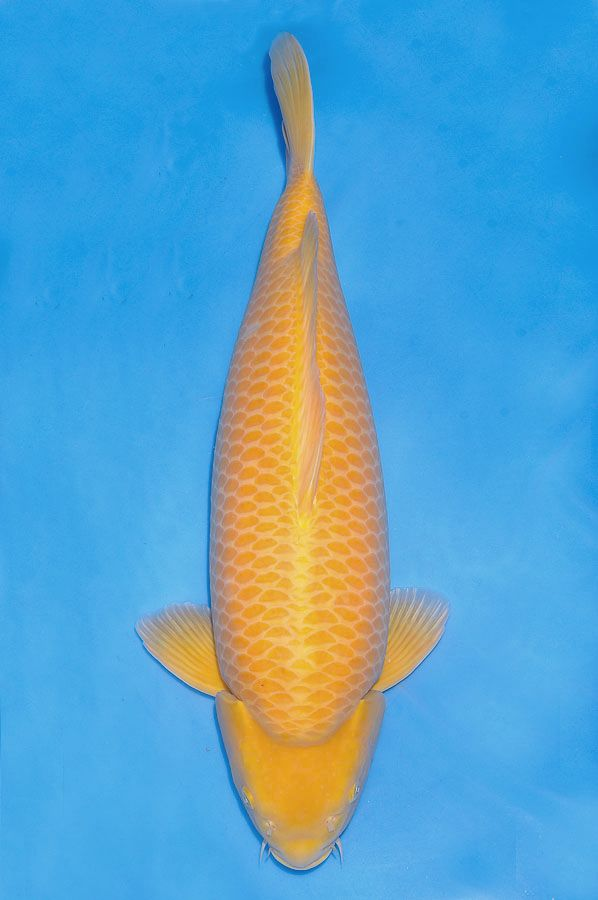 1000 images about koi varieties on pinterest fish for Koi carp varieties