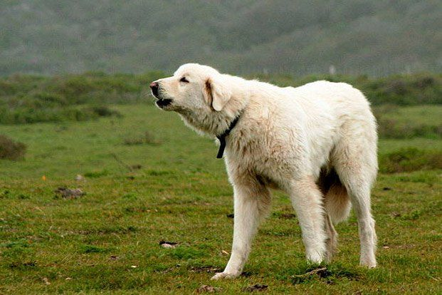 "An ancient livestock protection breed from Turkey, the Akbash Dog is a large, white dog with excellent sight and hearing, as well as a fast and protective nature, says Orysia Dawydiak, co-author of ""Livestock Protection Dogs -- Selection, Caring and Training"" and registrar for Akbash Dogs International."