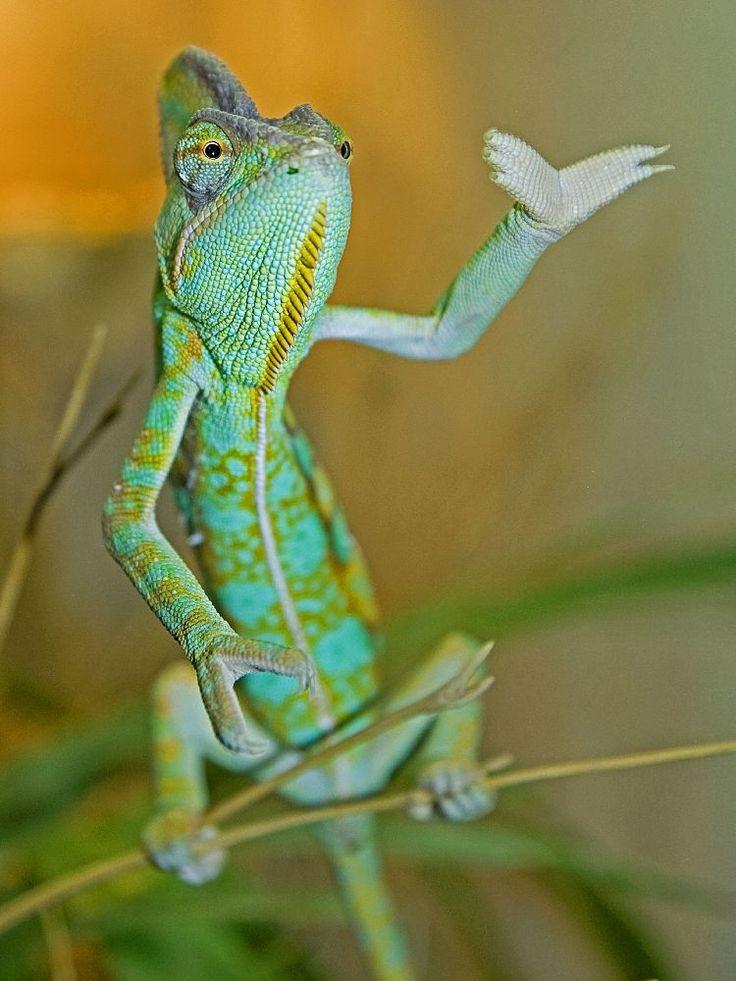 Yemen Chameleon - ©Karl-Heinz Sauer                                                                                                                                                      Mehr
