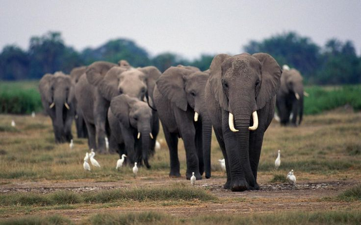 Let's check out all these amazing African elephant facts for kids such as African elephant habitat, diet, reproduction, species and its physical behavior. Description from animalstime.com. I searched for this on bing.com/images