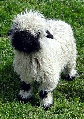Awww........Black nosed sheep