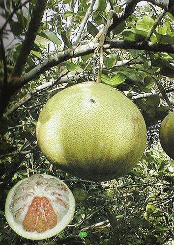 Pompelmoes- citrus fruit from Suriname