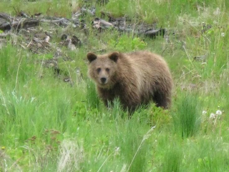 Young Male Grizzly Grande Cache, Alberta, Canada