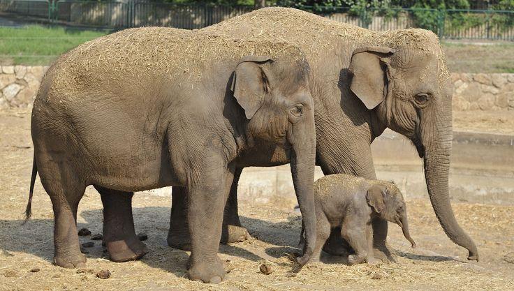 Asian elephants are the smallest among the elephant species http://ift.tt/2q3pjGJ