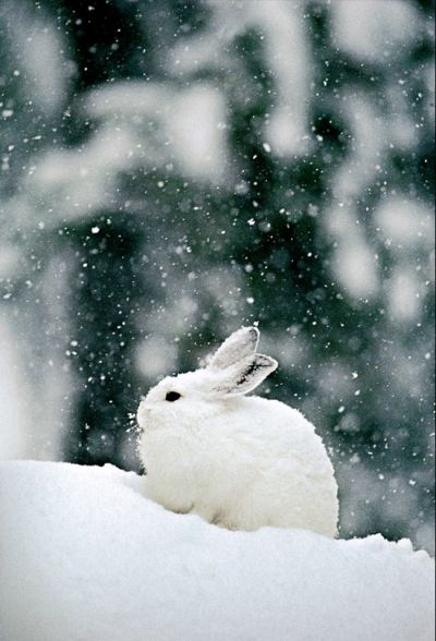 Herds of Arctic hares live within the rocks on hillsides in order to hide from foxes, wolves, owls and other enemies