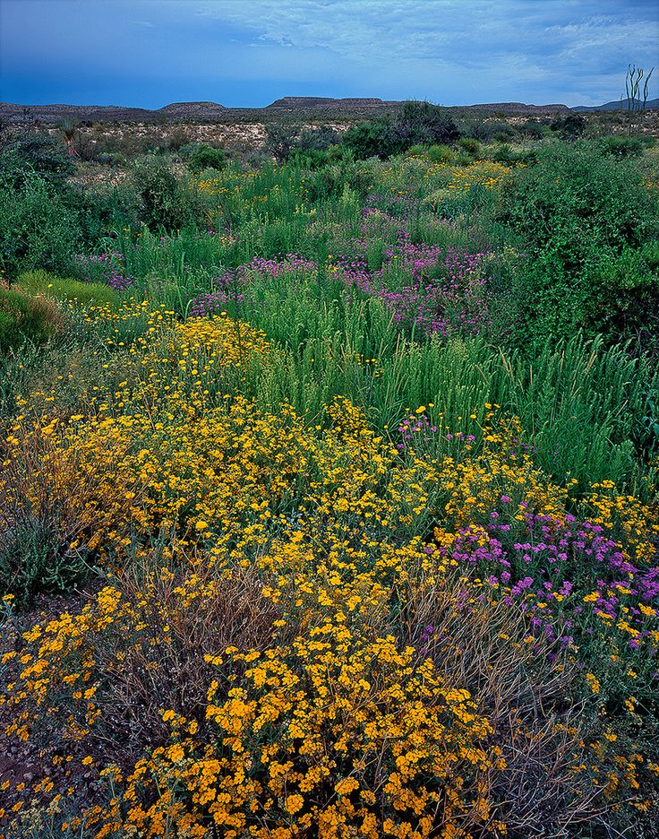 67 Best Texas Wildflowers Images On Pinterest