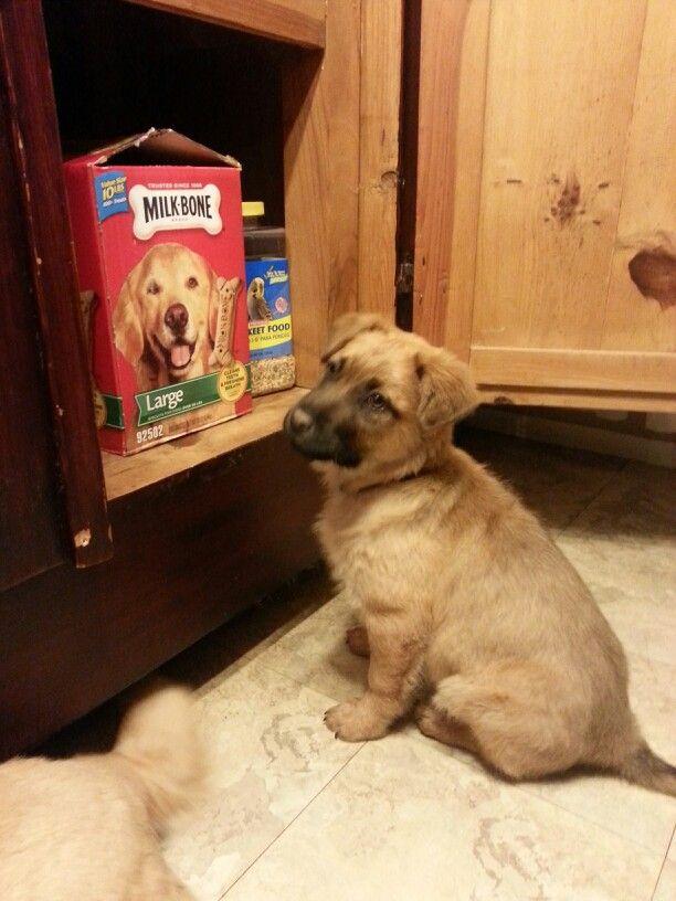 I wonder what he wants?  Aussie shepherd chow akita retriever mix. Puppy
