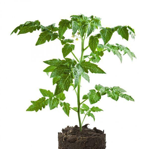 Как вырастить рассаду томатов