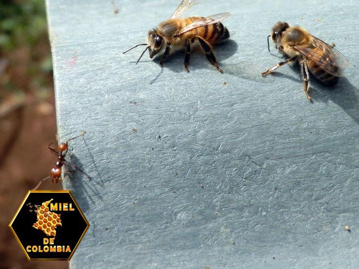"""Las abejas obreras se comunican mediante varios tipos de feromonas. Una de ellas se excreta desde una glándula en la extremidad del abdomen, la glándula de Nasanoff. Las abejas utilizan la feromona de la glándula Nasanoff cuando la colonia necesita juntarse. Es como si una abeja dijese a las demás: , """"Ven, no te pierdas, el resto de la colonia está aquí."""" pedidos: 3012020777 - 3117402833  ventas@mieldecolombia.com www.mieldecolombia.com"""