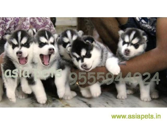 Siberian Husky Puppy For Sale In Chandigarh At Best Price Husky Puppies For Sale Siberian Husky Husky