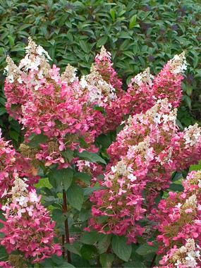 Hydrangea 'Pinky Winky' - The most cold hardy variety with cone-shaped flowers that range from deep pink to white. Height 6-8'  Zones 3-8