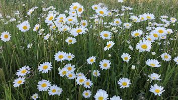 Video.  A short video clip of wild daisies nodding in the breeze. #daisy #daisies #wilddaisies #summer #video #sandrafoster #wilddaisyvideo