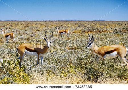 Springbok in Etosha National Park in Namibia http://www.shutterstock.com/pic.mhtml?id=73458385  #park, #etosha, #krueger, #springbok, national, #mammal, #grass, #antelope, #africa, #gazelle, #bush, #namibia, #herbivore, #springbuck, #wilderness, #savannah, savanna, #horns, #sky, #desert, #wild, #kalahari, #heat, game, watchful, #animal, #safari, #wildlife