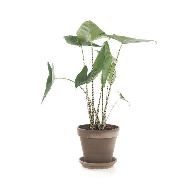 Deze groene kamerplant met grote bladeren in de vorm van een olifantsoor, heeft een rustgevend effect. Levertijd: 2-5 werkdagen. Let op! Planten kunnen niet geretourneerd worden.