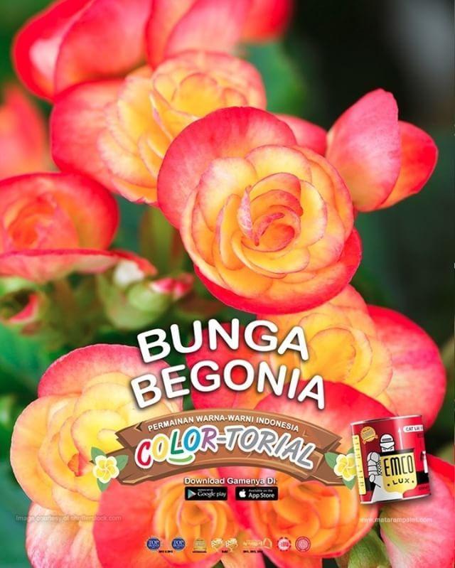 Begonia  Kawan EMCO, @emcopaint terus memperkaya inspirasi warna natural khas Indonesia, salah satunya yang terdapat dari tanaman khas seperti begonia yang banyak dikelola di Bali. Di provinsi tersebut Kebun Raya Eka Karya Bedugul diakui oleh World Center of Begonia sebagai pemilik koleksi bunga begonia terlengkap di dunia. Sebanyak 313 jenis begonia (Begoniaceae), yang terkenal memiliki daun tidak simetris dan pola warna yang khas, bisa dinikmati di taman seluas 700 meter persegi tersebut…
