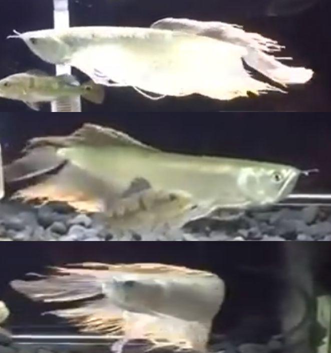 Long Fin Silver Arowana Oscar Fish Betta Fish Types Aquarium Fish