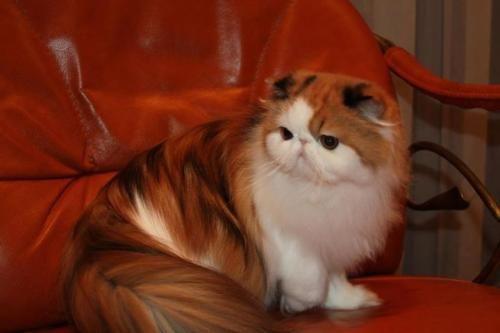 kucing persia Longhair & Exo shorthair manja