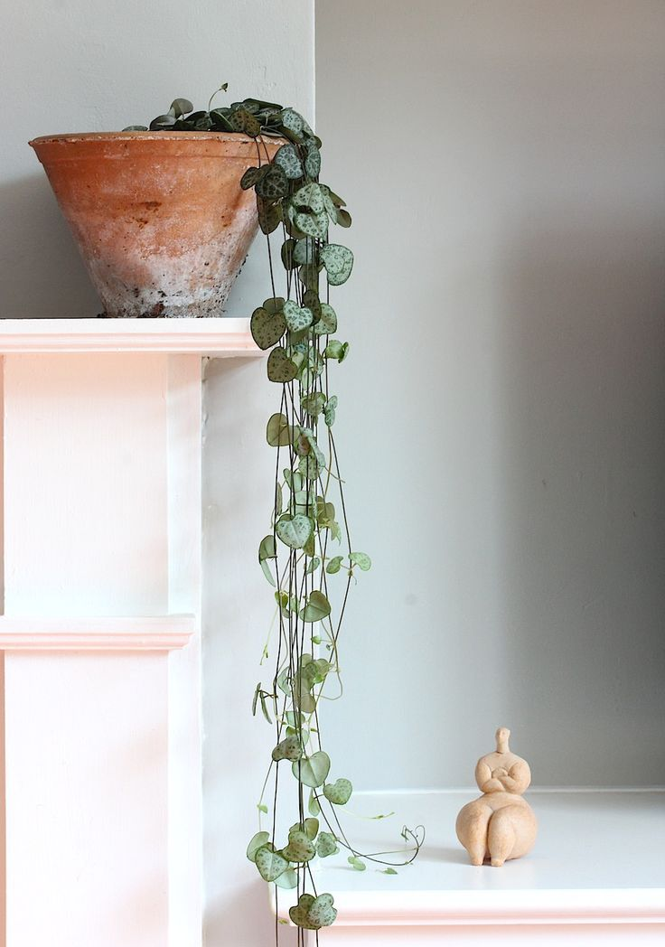 Nog zo'n magisch mooie plant die eigenlijk in elk urban jungle interieur thuishoort: de string of hearts/ceropegia woodii. Wat een plaatje! // via Wolves in London