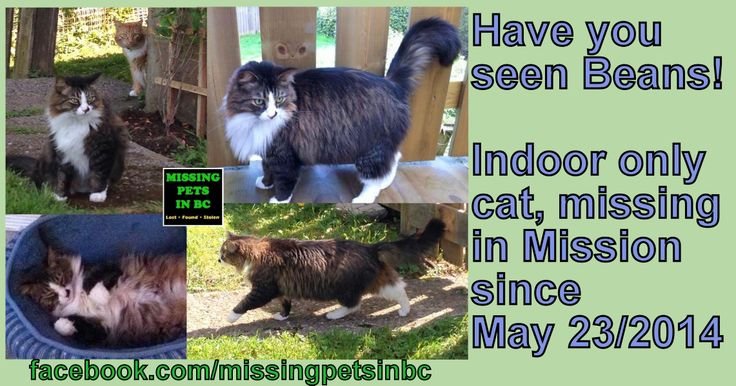 BEANS INDOOR ONLY DLH TABBY CAT LOST MISSION 7th Hurd area MAY 23 2014