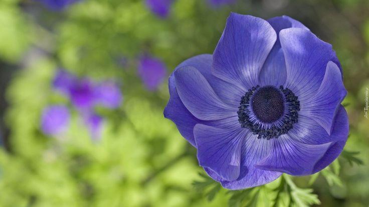 Kwiat, Zawilec