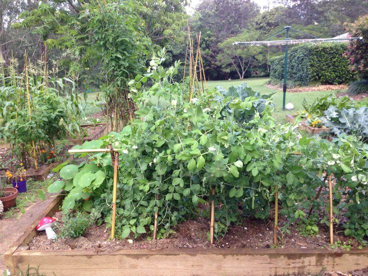 Snow peas 15 may