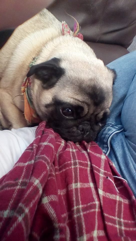 snuggly pug