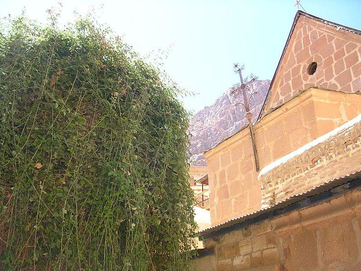 Неопалимая Купина   -   В православном монастыре Святой Екатерины на Синайском полуострове почитается куст, по преданию считающийся Неопалимой Купиной.