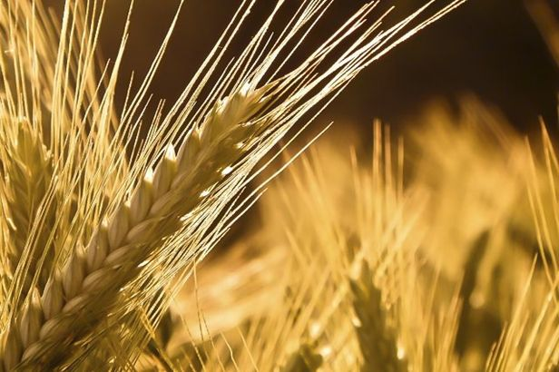 12 best images about Barley on Pinterest | Plant drawing ...