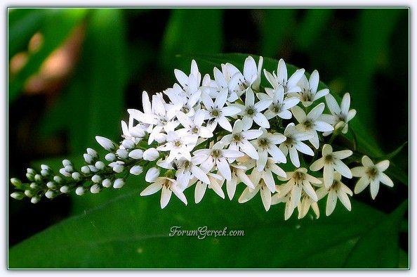 Beşiz Çiçeği | Yıldız Kümesi Çiçeği - Sayfa 3 - Forum Gerçek