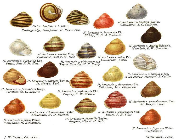 Variations Of The Garden Banded Snail Cepaea Hortensis