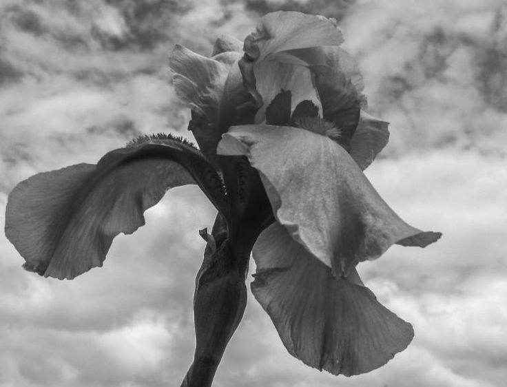 """Saatchi Art Artist johann kruger; Photography, """"Iris"""" #art"""
