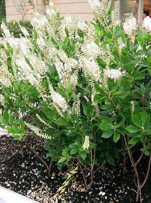 Die Zimterle bringt Vanilleduft in den Garten. Auch wenn es so klingt, so ist die Zimterle kein Baum und duftet auch nicht nach Zimt. Optisch ähnelt die Zimterle dem Schmetterlingsbaum mit langen Blütenrispen.