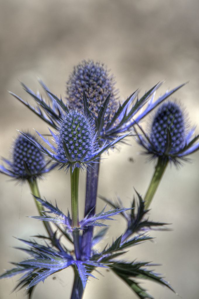 Looking for a fascinating addition to the garden? Then why not consider growing sea holly flowers. Sea hollies can provide unique interest. Read this article for information about growing Eryngium plants.