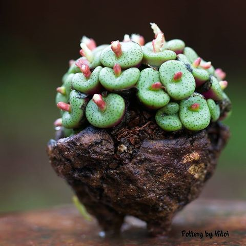 Conophytum obcordellum-8-. What a funny looking plant. Looks like it belongs in SpongeBob's world.