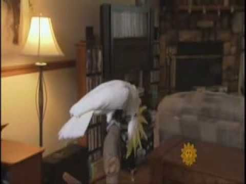 "Snowball is a sulfur crested cockatoo--but this is a great video of him as well as lots of information about how smart birds really are . . . and they are indeed. My Duffy broke his cockatiel buddy out of her cage, makes tools, knows the meaning of 'no"" ""come here"" and LEAVE THE CAT ALONE, dammit. That last one is basically ineffective--and the cat's terrified of the cockatoo. Go figure."