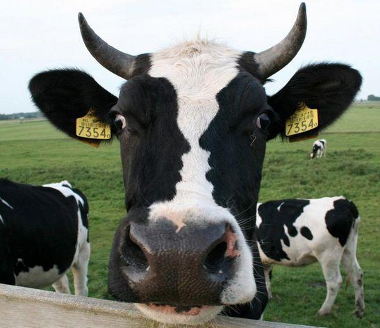 zie de twee zwarte vlekken op koeienkop!