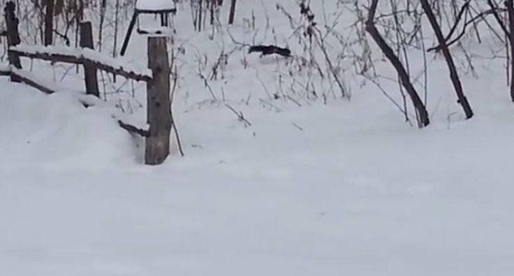 This drunk squirrel has had a few too many fermented crabapples. Watch him try to bound away in the snow and not get very far.