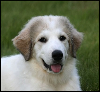 great pryness dog photo ellie great pyrenees dog