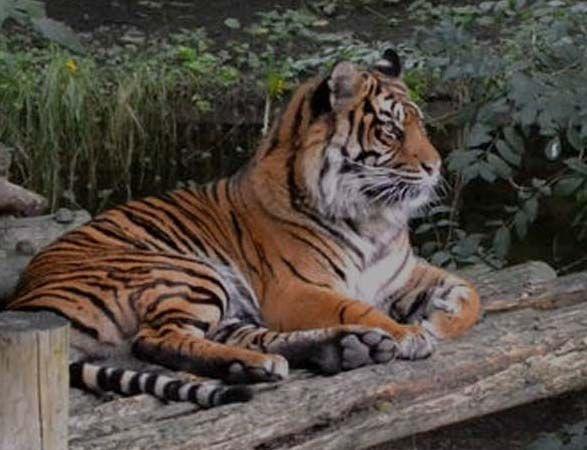 Hay muchos más felinos salvajes que tigres y leones. ¿Quieres conocerlos? Algunos son espectaculares. Lástima que muchos estén en peligro de extinción  ¡Tenemos que hacer algo!