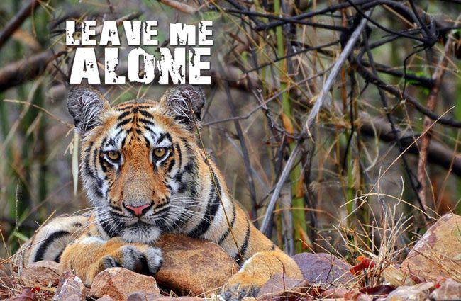 All tigers are asking for is space, protection and isolation. Sign the petition and help save the tiger now!