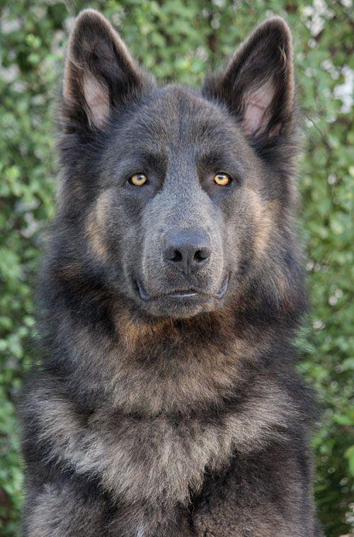 Blue German Shepherd - stunning.