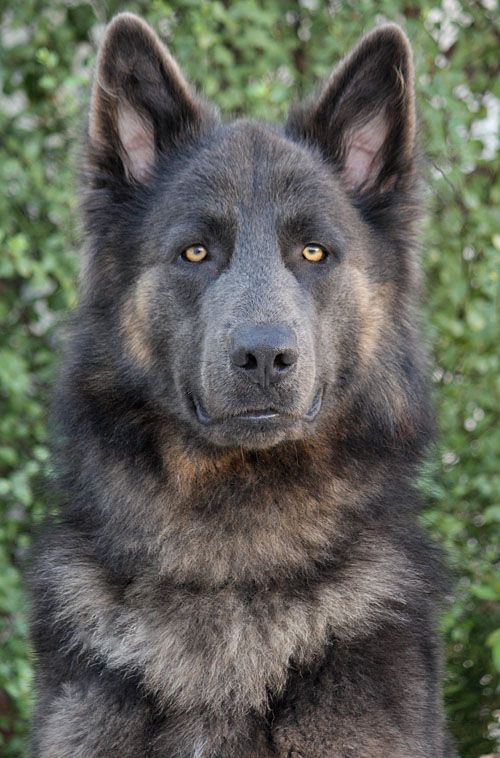 Blue German Shepherd - I have no idea if this an acceptable color in the AKC Standard. I just thought it was a striking image of a beautiful animal!
