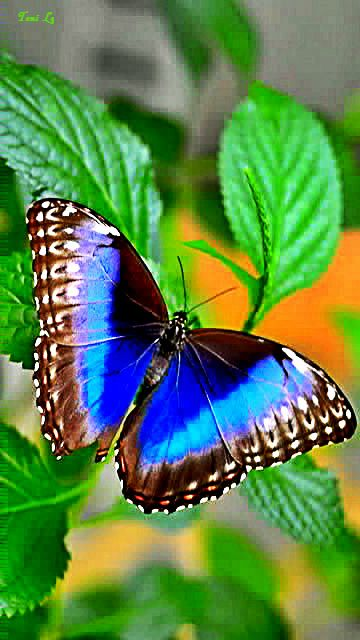 borboleta POR toni lg - mobile9