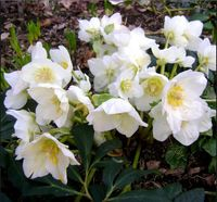 New Home Garden Plant 5 Seeds Christmas Rose Helleborus Niger Flower Seeds Free Shipping