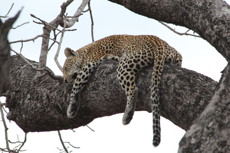 Lazy life of a leopard