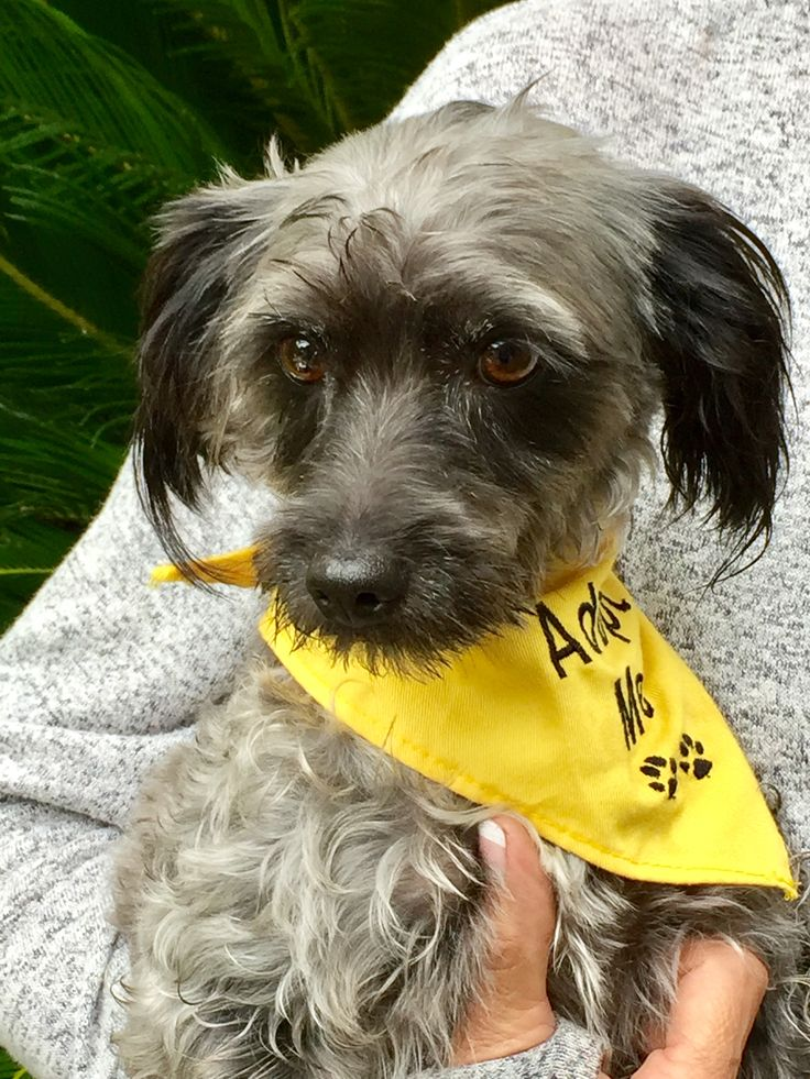 Poodle miniature dog for adoption in mission viejo ca